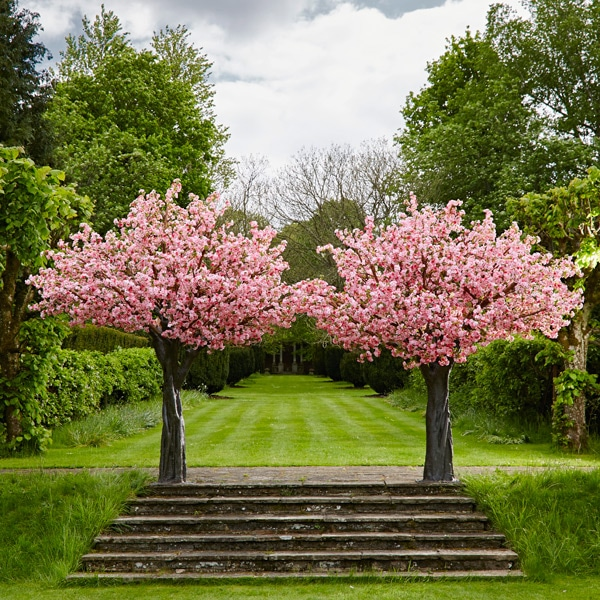 pink cherry trees for rent