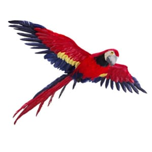 Red flying macaw