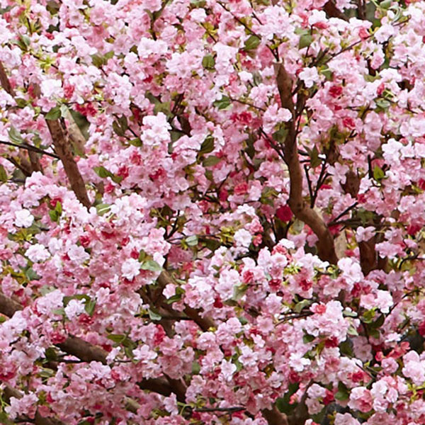 Hire pink blossom trees by Twilight Trees