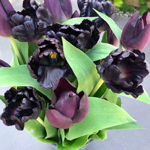 purple tulips petals