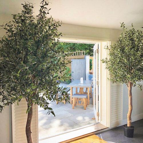 large olive trees indoors