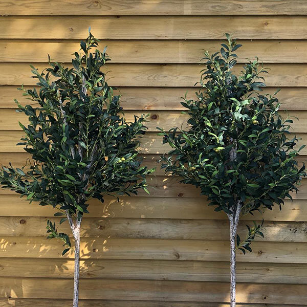 Small Olive Trees by Twilight Trees
